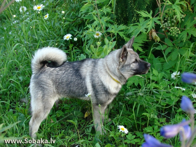Norwegian Elkhound grey