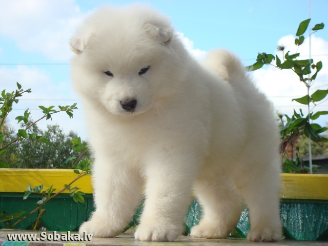 Щенок самоеда. 