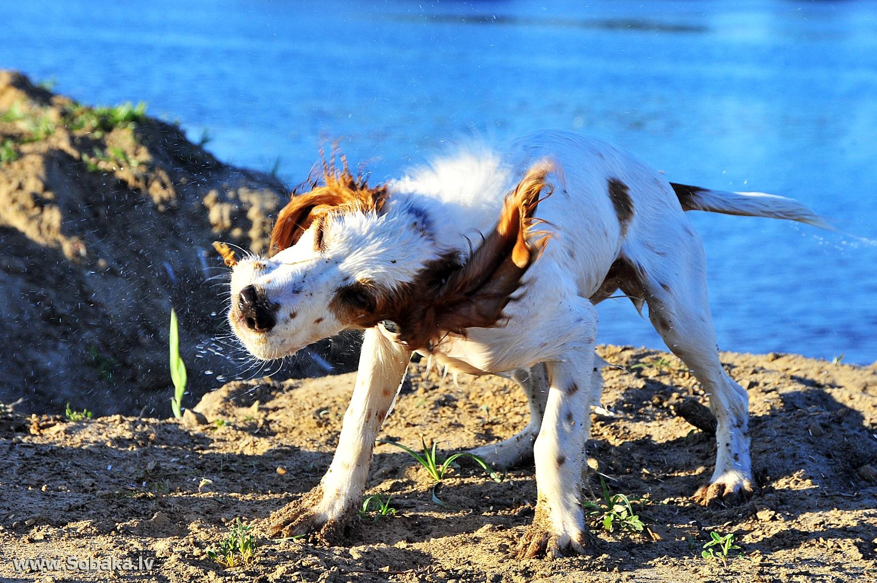характер породы собаки истрийская гончая