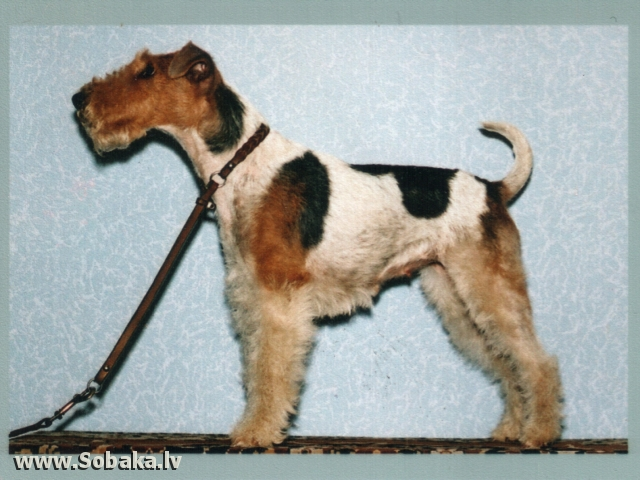 Fox Terrier - Wire - Dogs - Pedigree Database - page 3 on ENG.SOBAKI.PRO