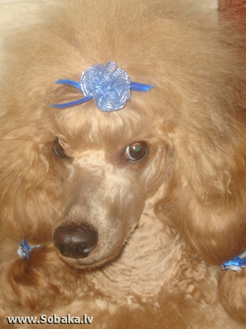 Poodle 