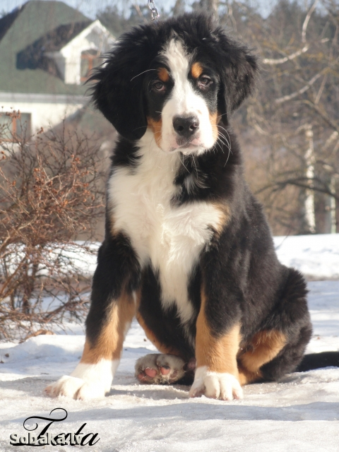 Bernese Mountain Dog Dogs Pedigree Database Page 9 On