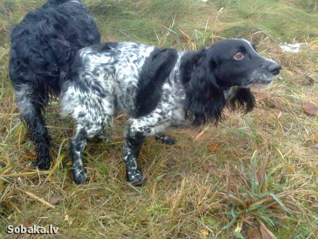 Russian Hunting Spaniel 
