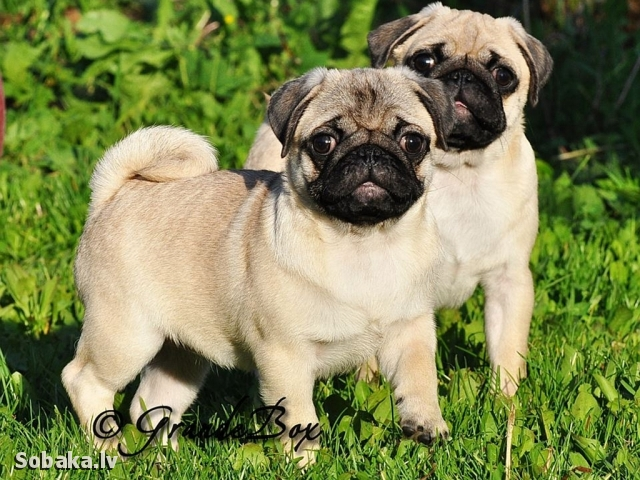 Pug 
