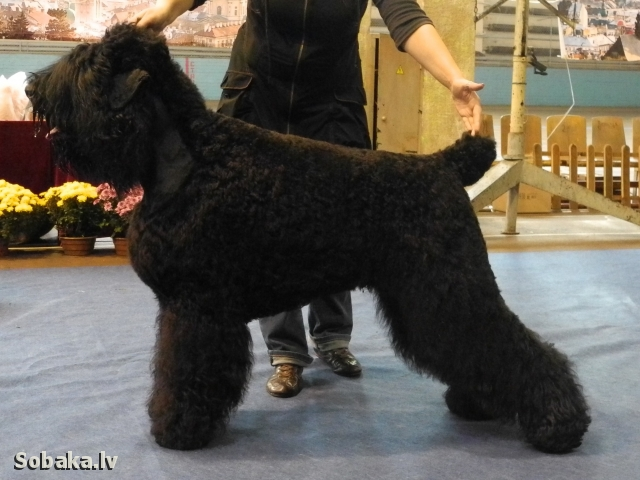 Black Russian Terrier Deneb-Keitos Shangerey