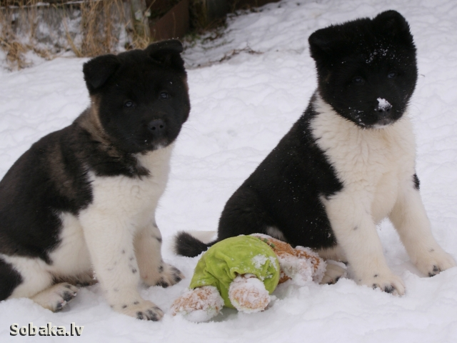 Great Japanese Dog, American Akita