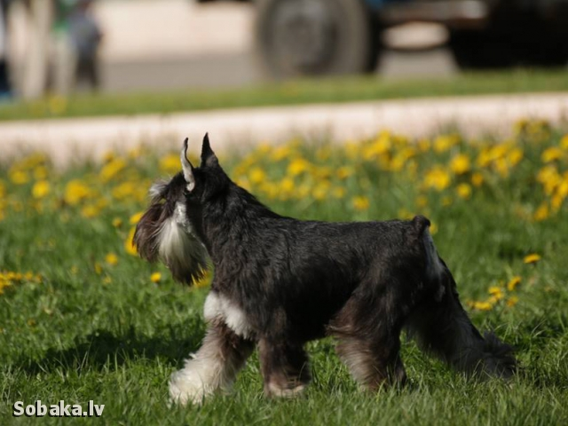 Miniature Schnauzer 