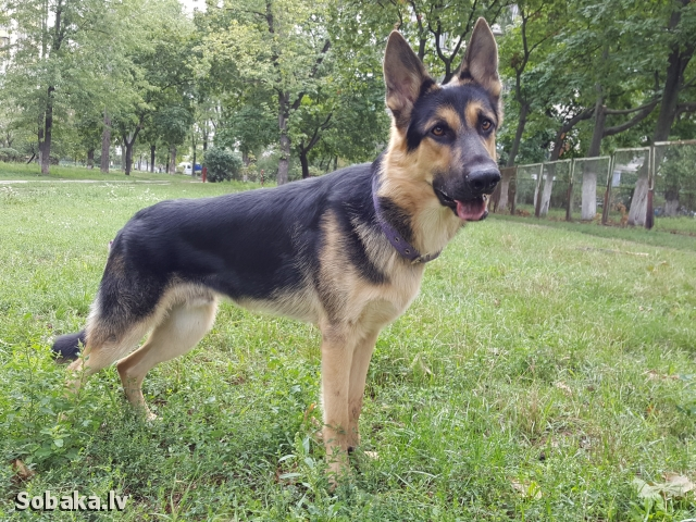 East evropean shepherd dog 