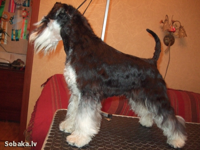 Miniature Schnauzer Dog-Othos You Cant Catch Me