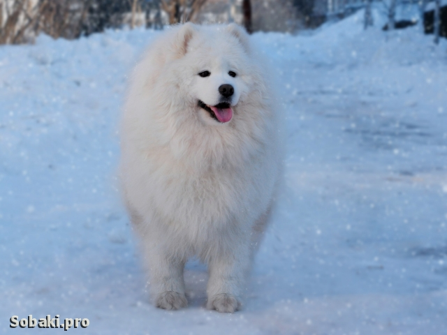 SAMOYED => PHOTOS  