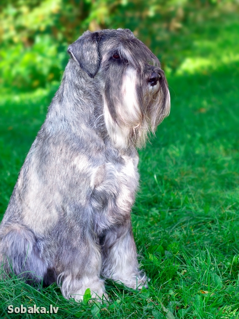 SCHNAUZER => PHOTOS  