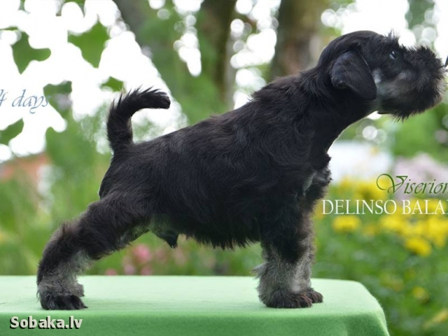 MINIATURE SCHNAUZER => PHOTOS  