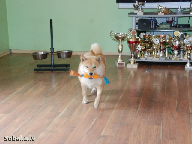 SHIBA => PHOTOS  