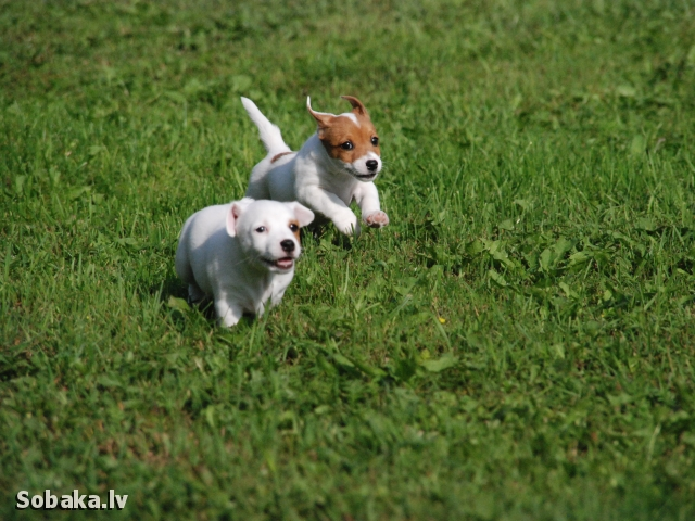 JACK RUSSELL TERRIER => PHOTOS  