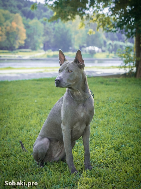 THAI RIDGEBACK DOG => THE DOG  