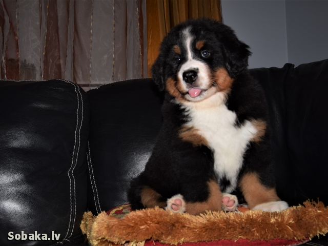 Bernese Mountain Dog 110143.jpg