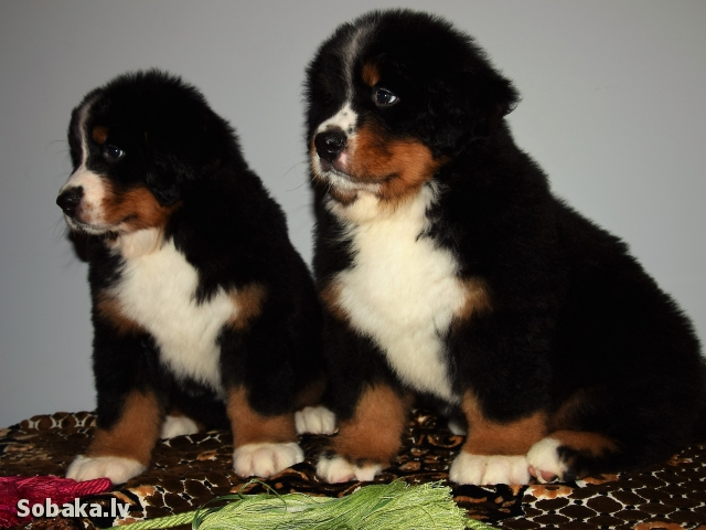 Bernese Mountain Dog 110144.jpg
