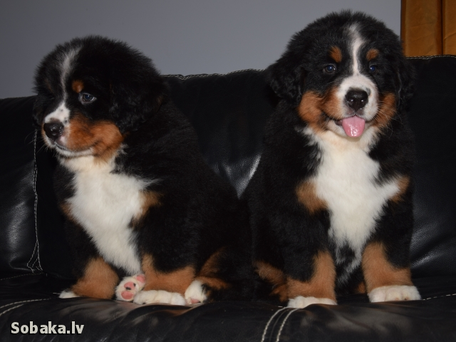 Bernese Mountain Dog 110147.jpg