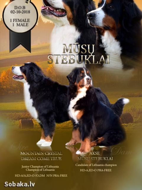 Bernese Mountain Dog 110148.jpg