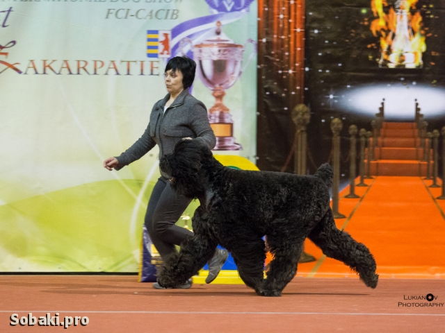Black Russian Terrier 110306.jpg