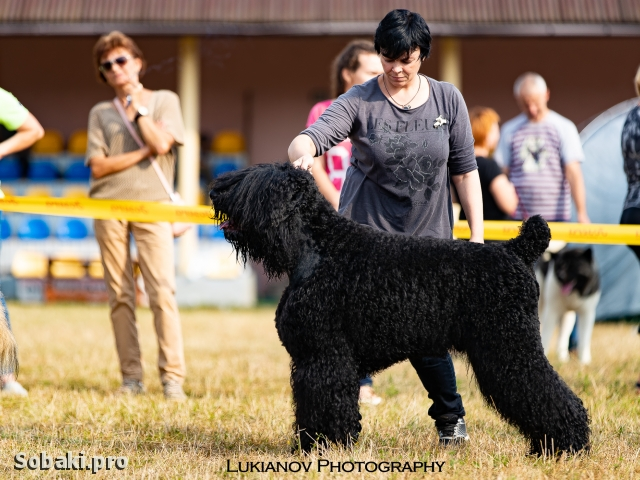 Black Russian Terrier 110308.jpg