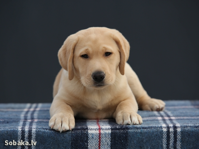 Labrador Retriever 110354.jpg