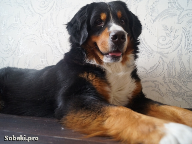 Bernese Mountain Dog 110360.jpg