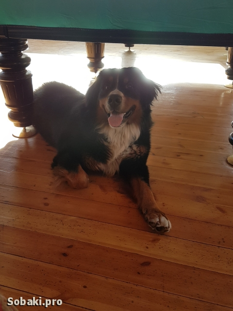 Bernese Mountain Dog 110361.jpg
