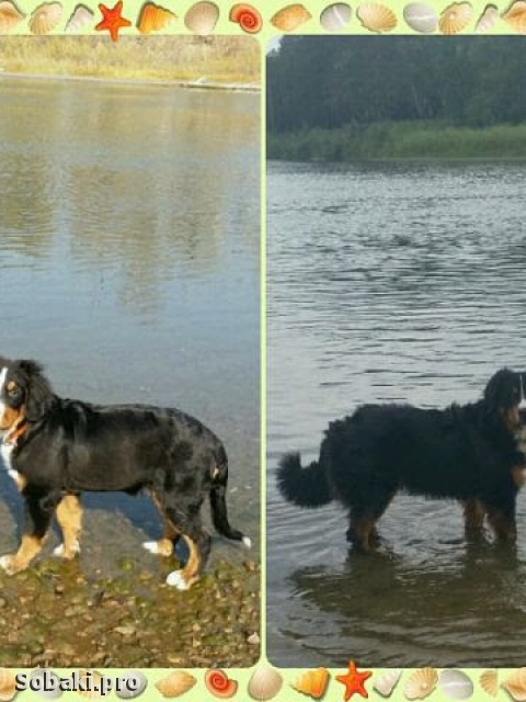 Bernese Mountain Dog 110362.jpg
