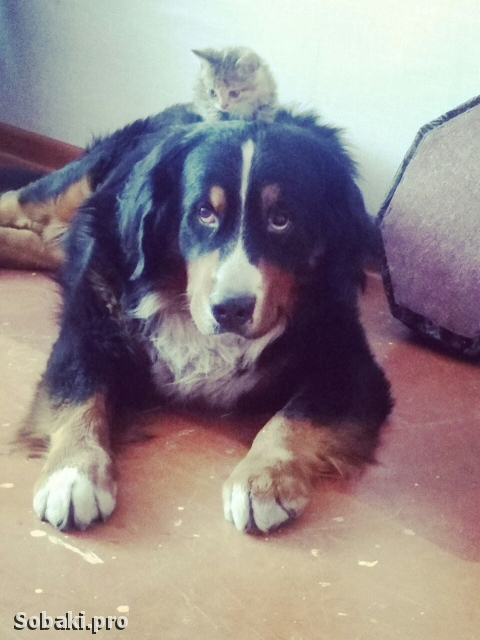 Bernese Mountain Dog 110363.jpg
