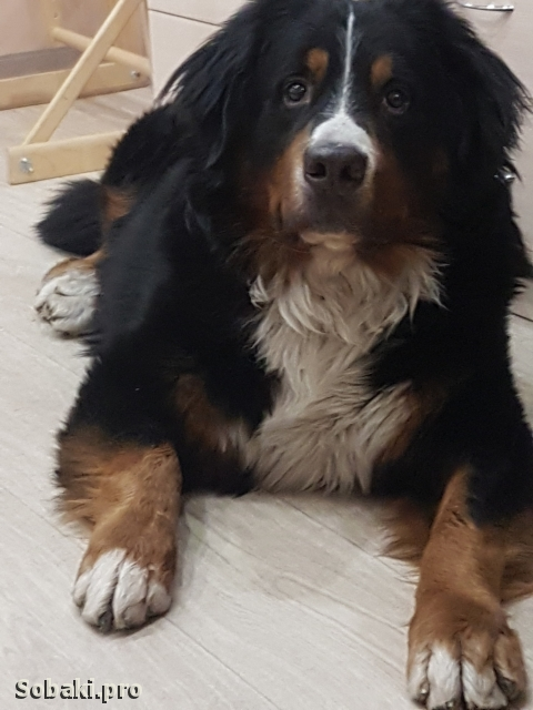 Bernese Mountain Dog 110364.jpg