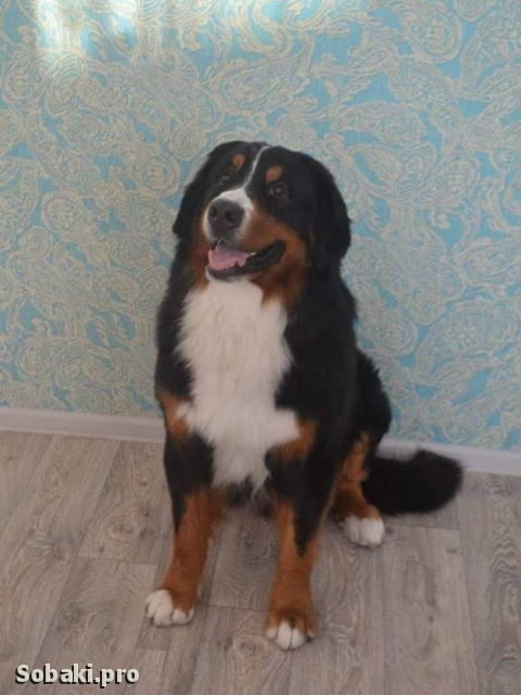 Bernese Mountain Dog 110365.jpg