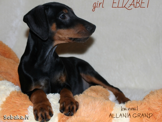 GERMAN PINSCHER => PHOTOS  