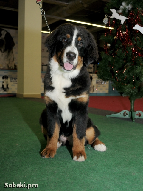 BERNESE MOUNTAIN DOG => THE DOG  