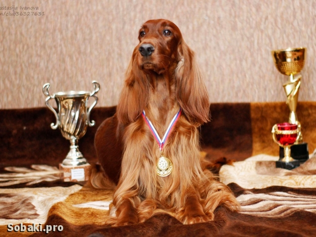 IRISH RED SETTER => PHOTOS  