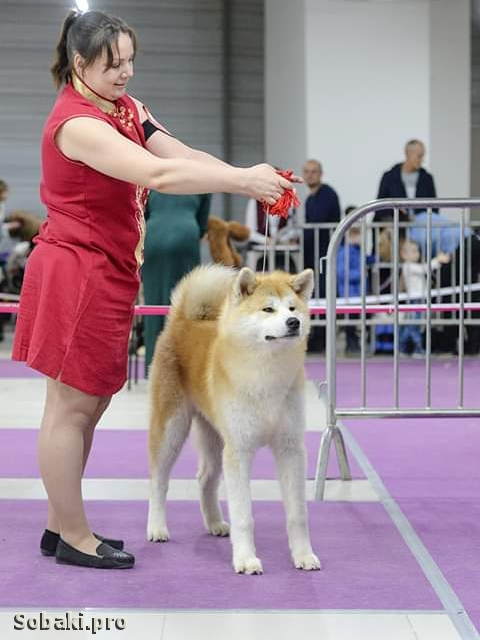 JAPANESE AKITA INU => THE DOG  