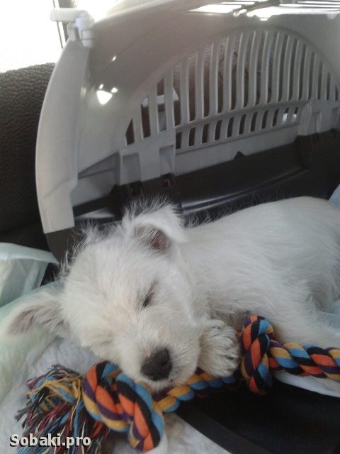WEST HIGHLAND WHITE TERRIER => THE DOG  