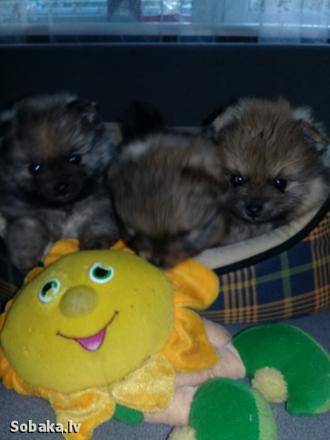 GERMAN SPITZ => PHOTOS  