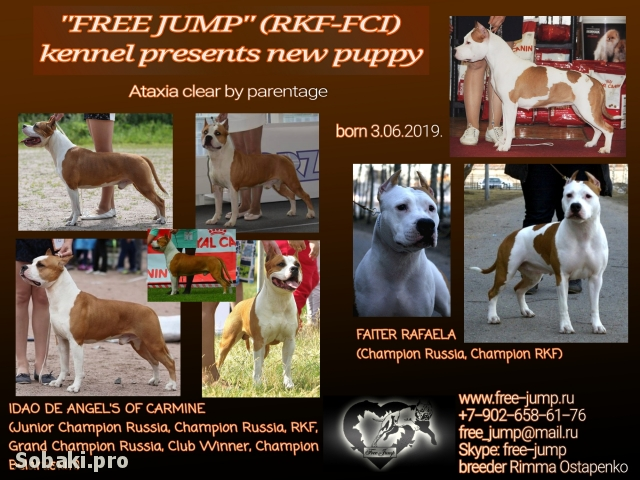 AMERICAN STAFFORDSHIRE TERRIER => PHOTOS  