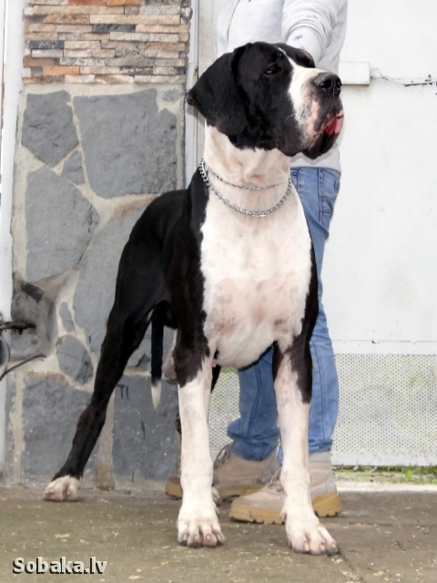 GREAT DANE => THE DOG  