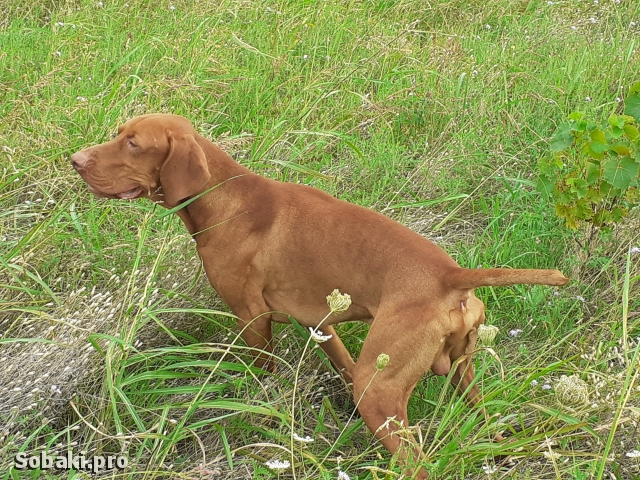 Hungarian Short-haired Pointing Dog 111613.jpg