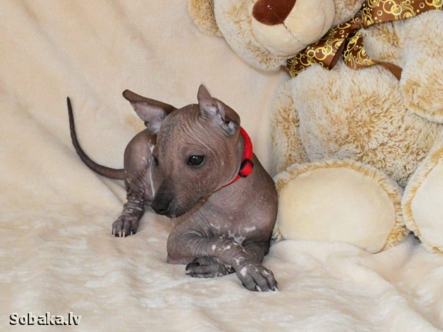 MEXICAN HAIRLESS DOG => THE DOG  