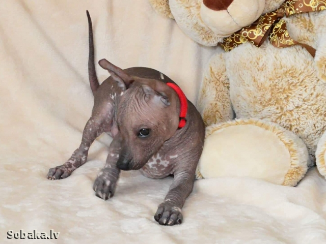 Mexican Hairless Dog 111751.jpg
