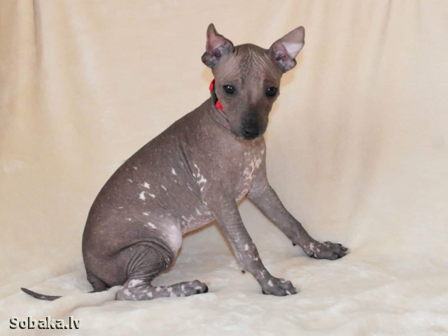 Mexican Hairless Dog 111752.jpg