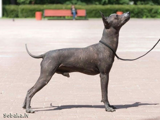 Mexican Hairless Dog 111757.jpg