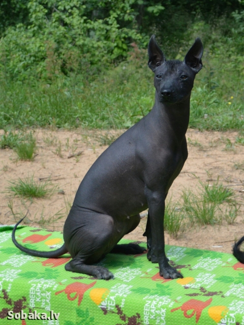 Mexican Hairless Dog 111759.jpg