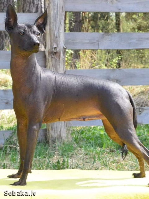 Mexican Hairless Dog 111762.jpg