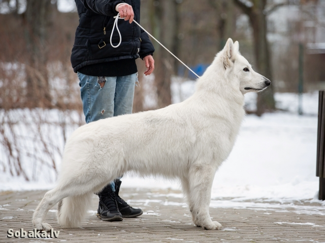 WHITE SWISS SHEPHERD DOG => PHOTOS  