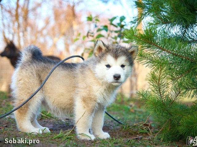 ALASKAN MALAMUTE => THE DOG  