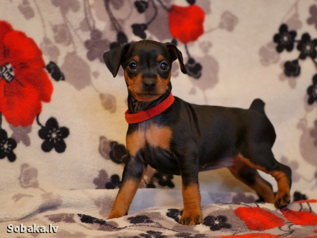 MINIATURE PINSCHER => THE DOG  